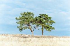 Dois pinheiros no campo Imagem de Stock Royalty Free