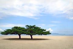Dois pinhos coreanos solitários em Sondovon famoso encalham em Kore norte Fotografia de Stock Royalty Free