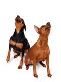 Dois Pinschers diminutos Fotografia de Stock Royalty Free