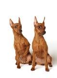 Dois pinschers diminutos vermelhos Imagem de Stock