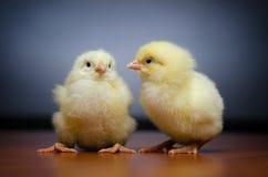Dois pintainhos bonitos Foto de Stock