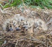 Dois pintainhos da gaivota em seu ninho ambo acordam Fotografia de Stock