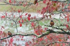 Dois piscos de peito vermelho na queda Fotos de Stock