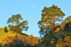 Dois pitorescos, pinheiros despenteados em montanheses opostos foto de stock