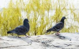 Dois pombos Fotos de Stock