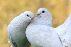 Dois pombos Fotografia de Stock Royalty Free