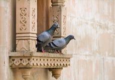 Dois pombos cinzentos imagens de stock royalty free