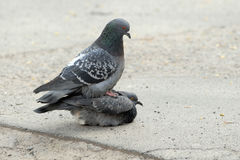 Dois pombos, ele e ela, amor do pássaro na terra, mola Imagens de Stock