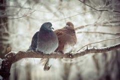Dois pombos em um ramo de árvore no inverno Fotos de Stock Royalty Free