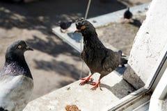 Dois pombos fora da janela Fotos de Stock Royalty Free