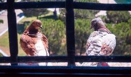 Dois pombos que sentam-se na janela através das barras na janela na torre branca em Tessalónica, Grécia imagem de stock