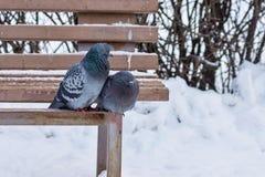 Dois pombos sentam-se em um banco de madeira no parque do inverno Imagens de Stock