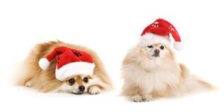 Dois Pomeranian Santa Fotografia de Stock Royalty Free
