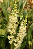 Dois pontos da flor de Laurel Hedge florescem - louro de cereja - o Prunus Rotundifolia fotos de stock