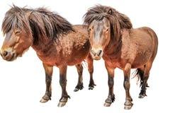 Dois Pony Horses Fotos de Stock Royalty Free