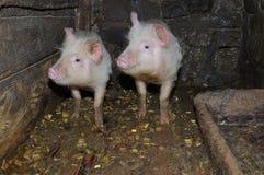Dois porcos Imagem de Stock Royalty Free