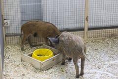 Dois porcos foto de stock