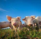 Dois porcos bonitos Foto de Stock Royalty Free