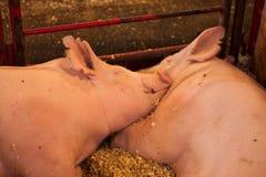 Dois porcos em uma pena Fotos de Stock