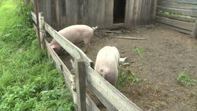 Dois porcos em uma pena Exploração agrícola de porco video estoque