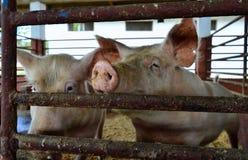Dois porcos mantidos em uma pena, esperando para deleites Imagem de Stock