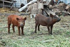Dois porcos pequenos Fotos de Stock Royalty Free