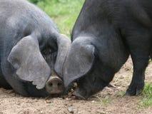 Dois porcos pretos Foto de Stock Royalty Free