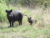 Dois porcos selvagens fotos de stock