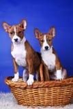 Dois poucos puppys de Basenji imagens de stock