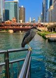 Dois Preto-coroaram a Noite-garça-real uma no fundo no direito, espécie em vias de extinção, estão visitando o Chicago River imagem de stock royalty free