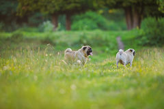 Dois pugs foto de stock royalty free