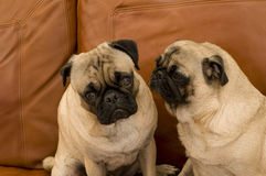 Dois Pugs no sofá de couro Fotos de Stock Royalty Free