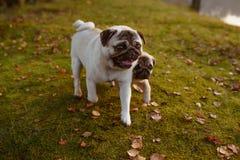Dois pugs, os cães, a mãe e sua prole estão andando na grama verde e nas folhas de outono, com as caras felizes, sorrindo imagens de stock royalty free