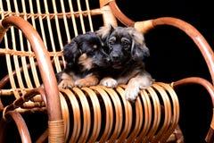 Dois pupppies bonitos que colocam em uma cadeira de balanço do rattan imagem de stock royalty free