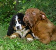 Dois puppys. Fotos de Stock Royalty Free