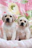 Dois puppys amarelos de Labrador Fotos de Stock