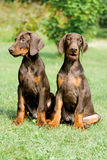 Dois puppys do doberman Foto de Stock Royalty Free