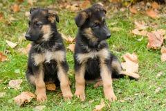Dois puppys do sheepdog. imagem de stock