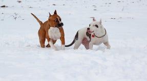 Dois puppys do terrier de Staffordshire americano estão jogando em uma neve branca Sete meses velho Fotografia de Stock Royalty Free