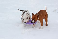 Dois puppys do terrier de Staffordshire americano estão jogando em uma neve branca Sete meses velho Imagem de Stock Royalty Free