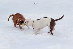 Dois puppys do terrier de Staffordshire americano estão jogando na neve branca Animais de animal de estimação Imagens de Stock