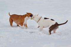 Dois puppys do terrier de Staffordshire americano estão jogando na neve branca Animais de animal de estimação Fotografia de Stock