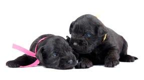 Dois puppys pretos do Schnauzer diminuto Fotografia de Stock