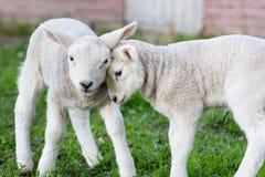 Dois que abraçam e cordeiros brancos de amor Fotos de Stock