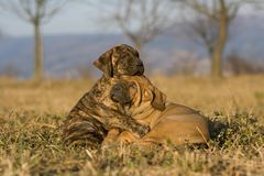 Dois que dormem e filhotes de cachorro snuggling Imagem de Stock