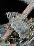 Dois raccoons. imagens de stock royalty free