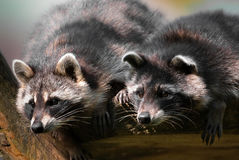 Dois racoons curiosos Fotografia de Stock Royalty Free
