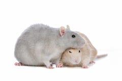 Dois ratos imagem de stock