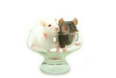Dois ratos fotografia de stock