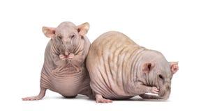 Dois ratos calvos (2 anos velho) Fotografia de Stock Royalty Free